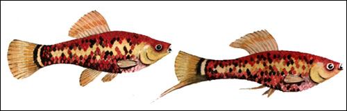 Красный меченосец (Xiphophorus helleri), Рисунок картинка рыбы