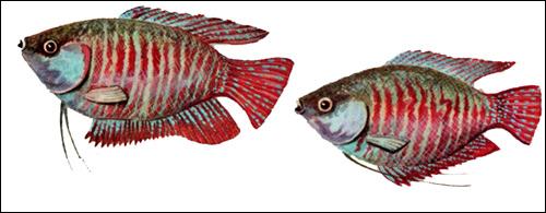 Лялиус (Colisa lalia), Рисунок картинка рыбы