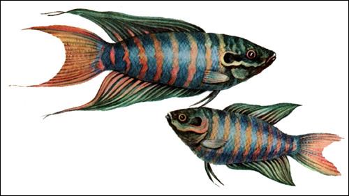 Макропод (Macropodus opercularis), Рисунок картинка рыбы
