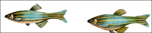Данио-рерио (Danio rerio), Рисунок картинка рыбы