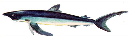 Синяя акула (Prionace glauca), Рисунок картинка рыбы