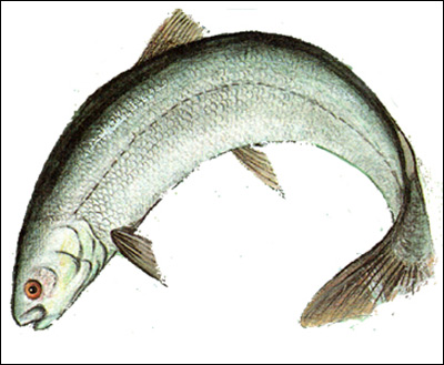 Волховский сиг, сиголов (Coregonus lavaretus), Рисунок картинка рыбы