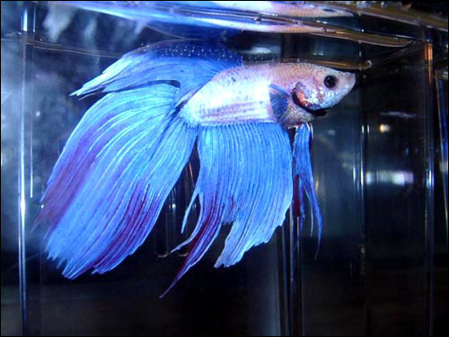 Бойцовый, или сиамский петушок (Betta splendens), Фото фотография картинка рыбы