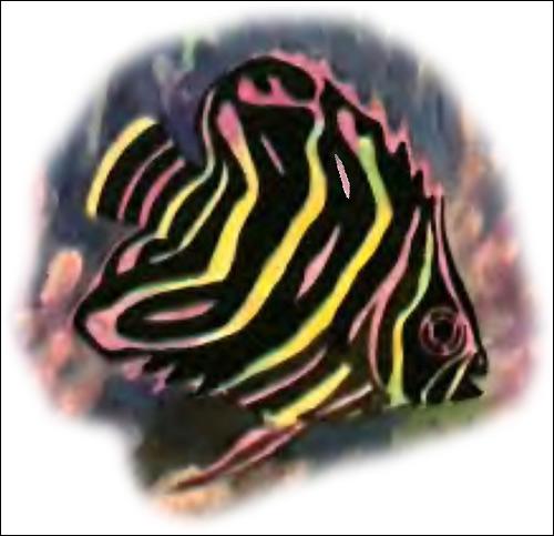 Зебровая рыба-бабочка, Рисунок картинка