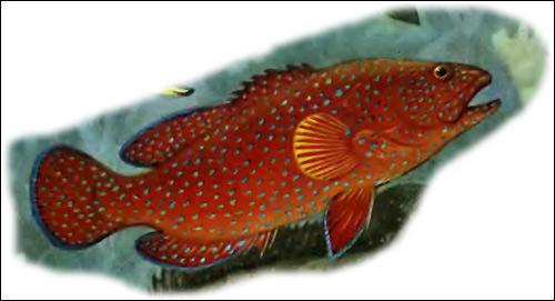 Красный групер (Epinephelus morio), Рисунок картинка рыбы