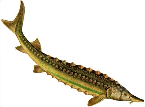 Сахалинский  осетр (Acipenser medirostris), Рисунок картинка рыбы