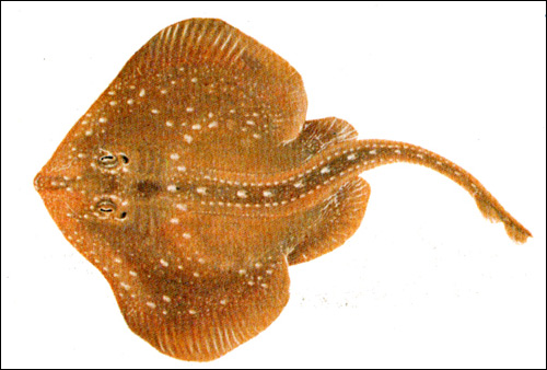 Звездчатый скат (Raja radiata), Рисунок картинка рыбы