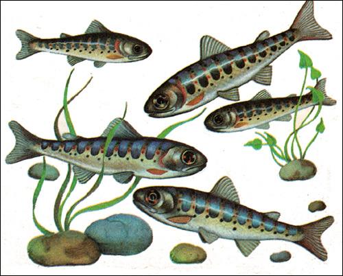 Молодь лосося (Saimo), Рисунок картинка рыбы
