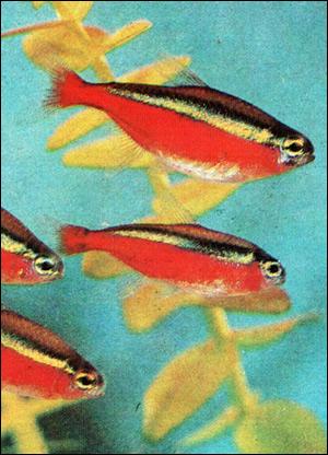 Красный неон (Cheirodon axelrodi), Фото фотография картинка рыбы