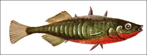Колюшка трехиглая (Gasterosteus aculeatus), Рисунок картинка рыбы