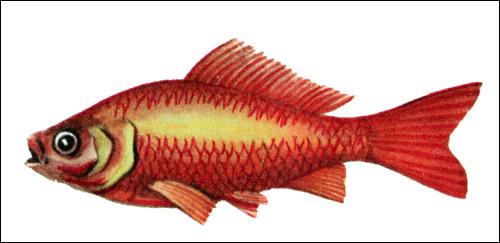 Золотая рыбка (Carassius auratus), Рисунок картинка рыбы