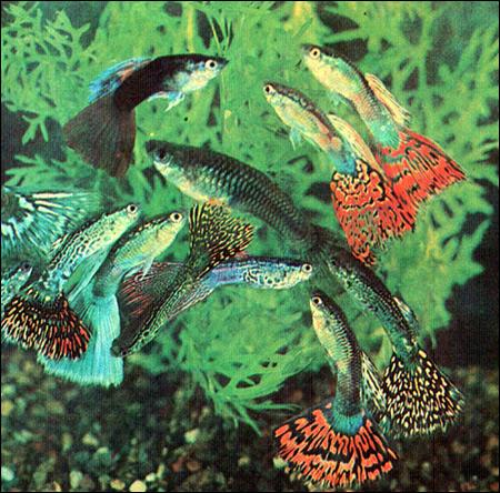 Гуппи (Lebistes reticulatus, Poecilia reticulata), Фото фотография картинка рыбы