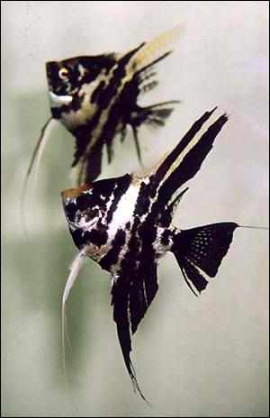 Скалярия (Pterophyllum scalare), Фото фотография картинка рыбы