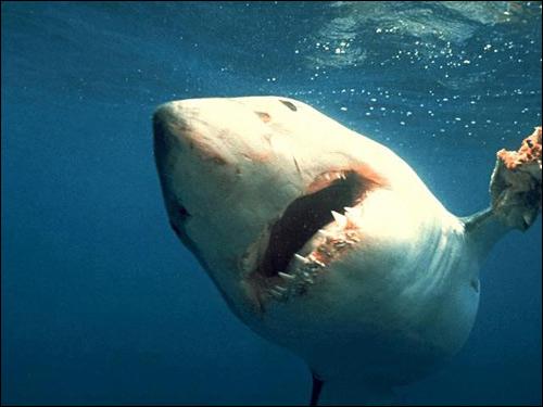 Большая белая акула (Carcharodon carcharias), Фото фотография рыбы картинка
