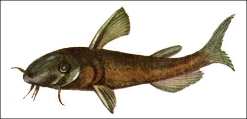 Ротан-головешка (Perccottus glehni), Рисунок картинка рыбы