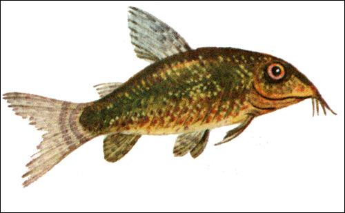 Сомик крапчатый (Corydoras paleatus), Рисунок картинка рыбы
