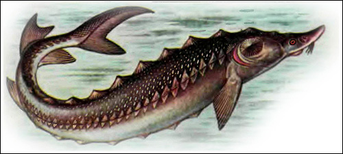 Атлантический осетр (Acipenser sturio), Рисунок картинка рыбы