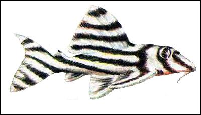 Сомик-зебра (Hypancistrus zebra), Рисунок картинка рыбы