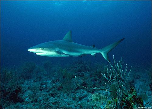 Рифовая акула, Фото фотография картинка рыбы