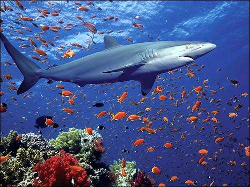 Акула, Фото фотография картинка