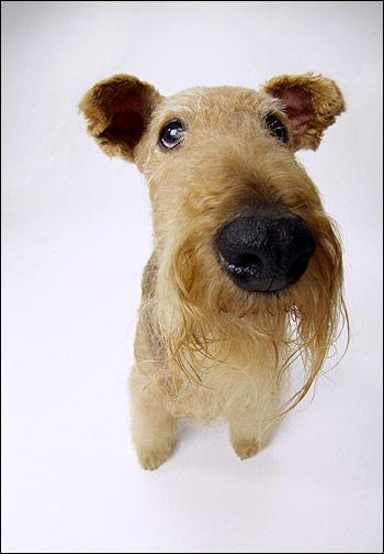 Морда эрдельтерьера, Фото фотография собаки картинка