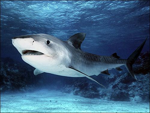 Китовая акула картинка