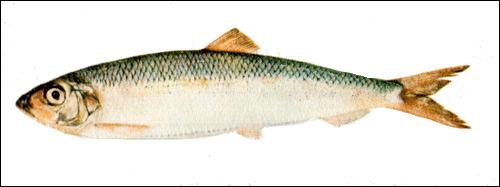 Атлантическая сельдь (Clupea harengus), Рисунок картинка рыбы