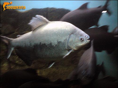 Черный паку (Colossoma brachypomum), Фото фотография картинка рыбы пиранья