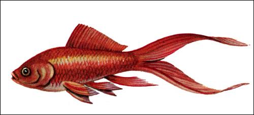 Комета, золотая рыбка, Рисунок картинка рыбы