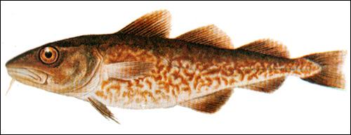 Треска-увак, Рисунок картинка рыбы