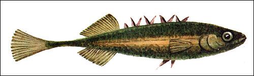 Девятииглая колюшка (Pungitius pungitius), Рисунок картинка рыбы