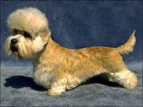 Денди-динмонт-терьер, Фото фотография собаки картинка