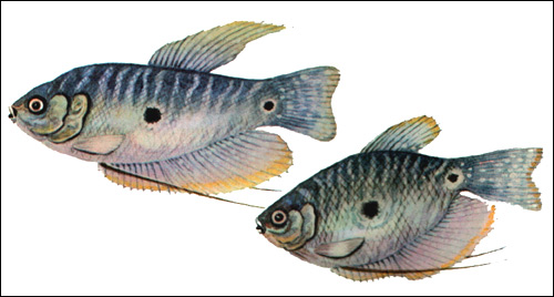 Гурами пятнистый (Trichogaster trichopterus), Рисунок картинка рыбы