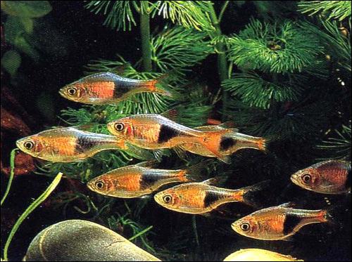 Расбора клинопятнистая (Rasbora heteromorpha), Фото фотография картинка рыбы