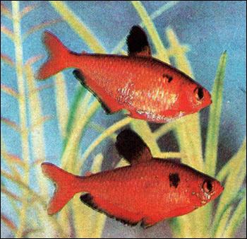 Тетра кровавая (Hyphessobrycon callistus), Фото фотография картинка рыбы