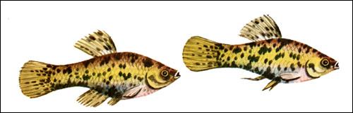 Точечная пецилия, платипецилия точечная (Xiphophorus maculatus), Рисунок картинка рыбы