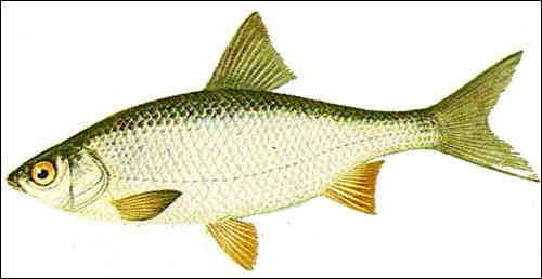 Плотва (Rutilus rutilus), Рисунок картинка рыбы