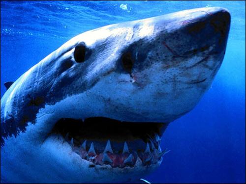 Белая акула (Carcharodon carcharias), Фото фотография рыбы