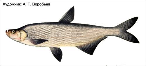 Верхогляд (Erythroculter erythropterus), Рисунок картинка рыбы