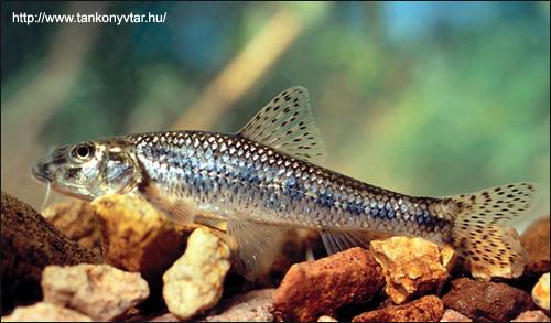 Пескарь (Gobio gobio), Фото фотография картинка рыбы