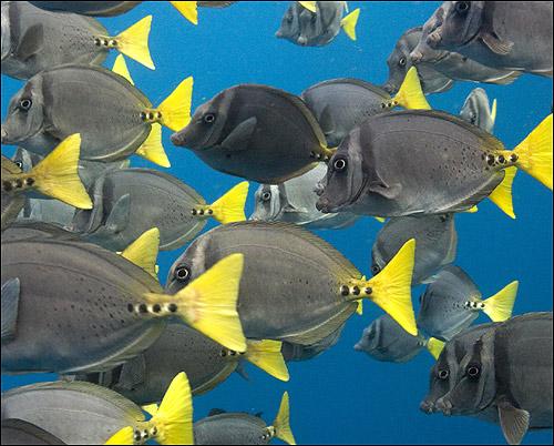 Прионуры (Prionurus laticlavius), Фото фотография картинка рыбы