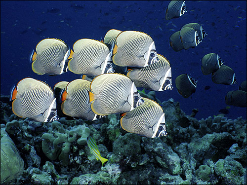Краснохвостая рыба-бабочка (Chaetodon collare), Фото фотография картинка