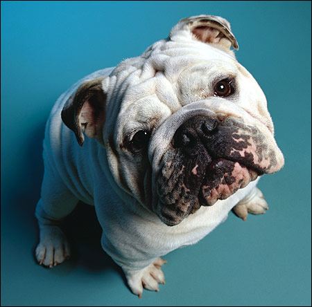 Английский бульдог, Фото фотография собаки картинка