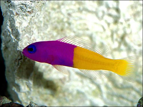 Фиолетово-желтая рыбка, Фото фотография