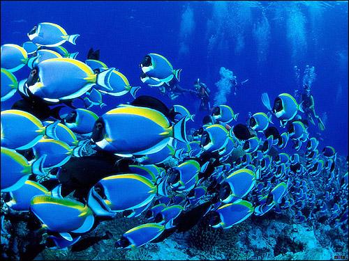 Косяк сине-желтых рыбок, Фото фотография