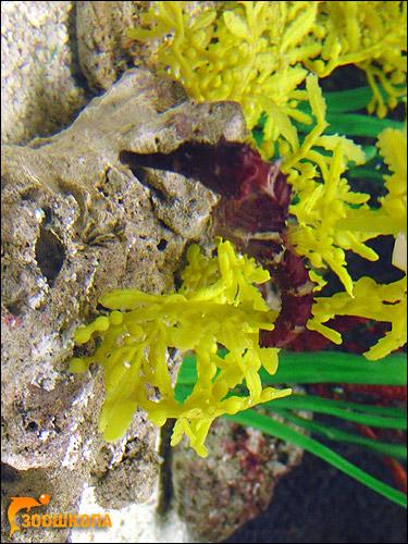 Морской конек, Фото фотография рыбы