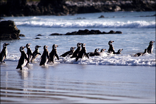 Магеланов пингвин (Spheniscus magellanicus), Фото фотография картинка птицы