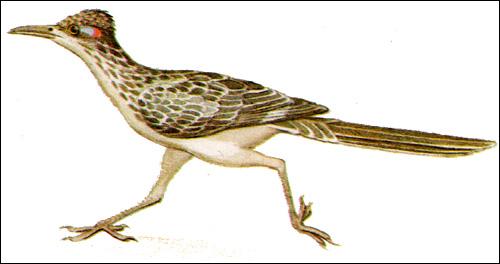 Земляная кукушка (Geococcyx californicus), рисунок картинка птицы