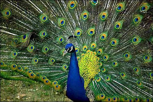 Павлин (Pavo cristatus), Фото фотография картинка птицы