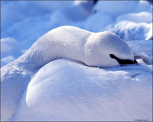 Белый лебедь, Фото фотография картинка птицы